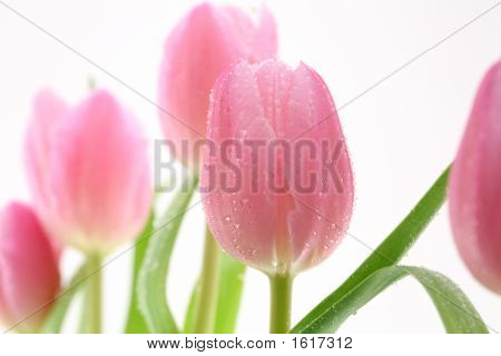 Beautiful Tulips Over The White Background