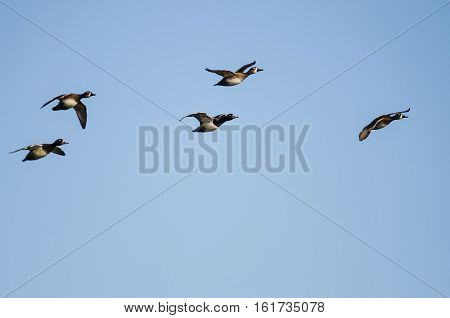 Small Flock of Ring-Necked Ducks Flying in a Blue Sky