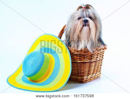 Cute shih tzu dog with big summer hat sitting in basket on white background