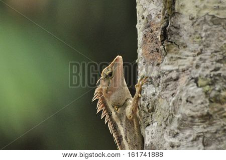 Green crested lizard or tree lizard on the tree and natural background
