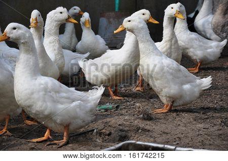 Duck Or Goose Birds Outdoor