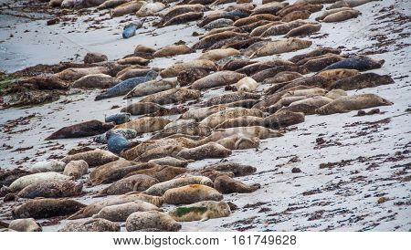 Seal lions lying on the beach in Monterey, California