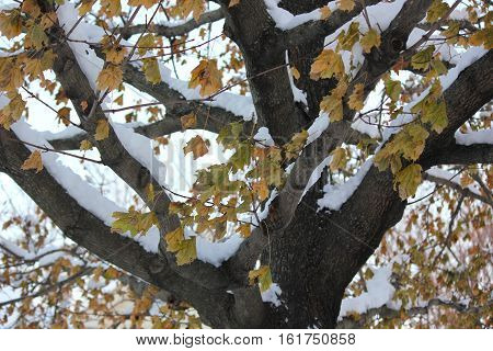 Colorful maple leaves with fresh whit snow still showing some nice color