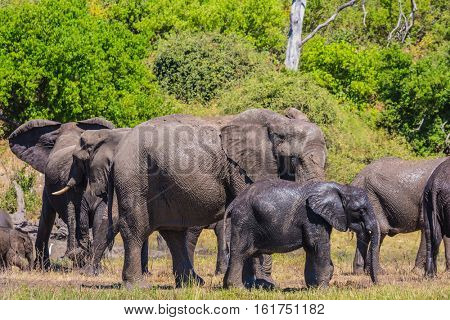 River Okavango, Botswana, Chobe National Park. The concept of exotic and active tourism. Large herd of African elephants at the watering