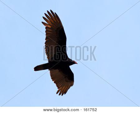 Flying Turkey Vulture