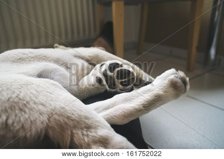 young tired dog sleeping with tiny paws - labrador retriever puppy