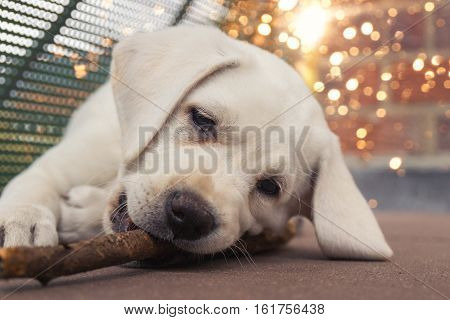 young cute labrador dog puppy chews on a stick