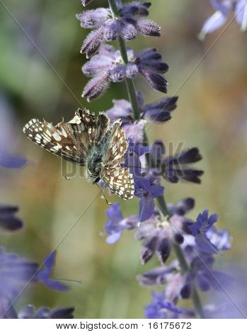 Brown Butterfly on Lavender