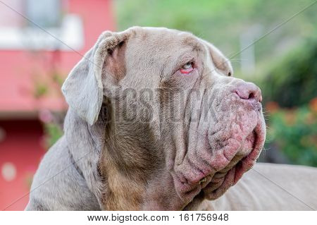 Portrait Of A Purebred Female Dog Neapolitan Mastiff