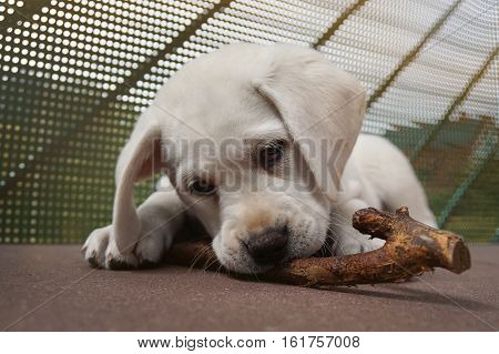 young cute labrador retriever dog puppy chews on a stick