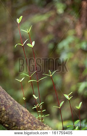 Close up detail of a delicate plant with red stems growing in a forest in Tasmania