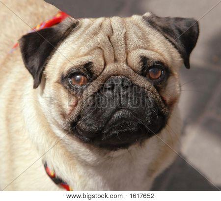 Cute Pug Portrait