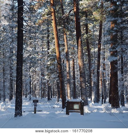 The Lake Creek Trail near Camp Sherman in Central Oregon burried in snow located in a forest of Ponderosa Pines with fresh snow on their branches illuminated by morning sun.