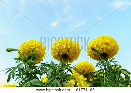 Marigold Flowers In The Garden With Sky