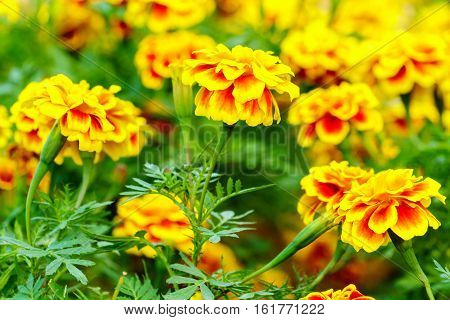 Marigold Flowers Close Up