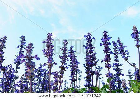 Purple White Salvia Flowers With Sky
