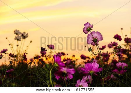 Pink Cosmos In Twilight Time
