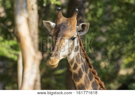 Image of a giraffe head on nature background. Wild Animals.