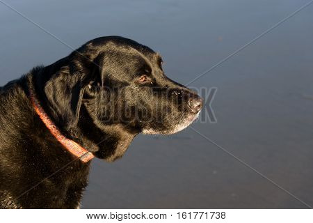 Black dog on the beach with orange collar