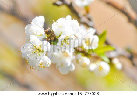 white peach blossom flower or plum flower