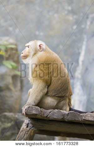 Image of a brown rhesus monkeys on nature background.