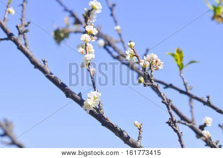 white peach blossom flower plum flower or peach tree