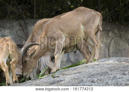 Image of a mountain goats standing on a rock and eating grass. Wild Animals.