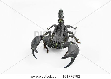 Scorpion Chang black are threatened acted on a white background.