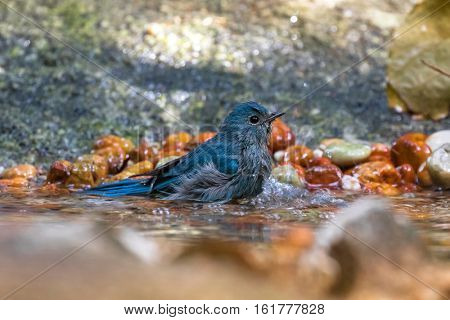 Cute little Verditer Flycatcher bird in blue playing soaking body in cold water in Thailand, Asia (Eumyias thalassinus)