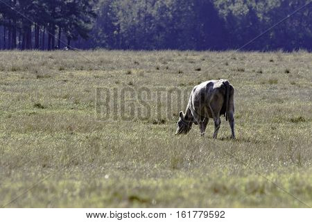 Lone commercial cow grazing in a drought-stricken pasture - horizontal format