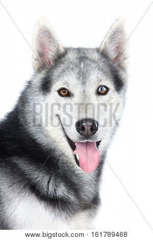 Portrait of a adult Siberian Husky dog isolated on a white background