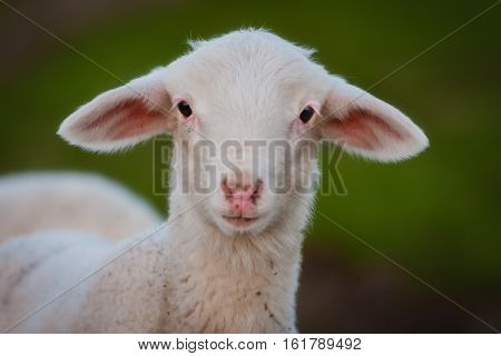 Portrait of a beautiful lamb looking at camera with a natural green of background