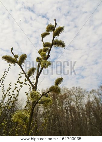 Pussy willow on a meadow on early spring