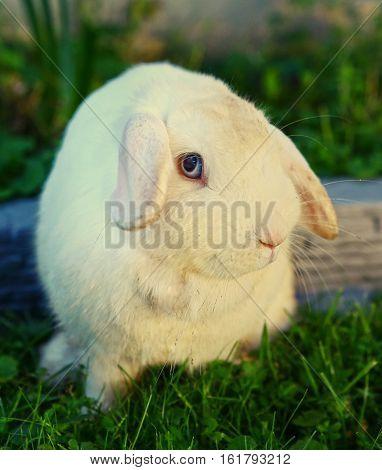 white mutton breed rabbit close up photo on green grass background
