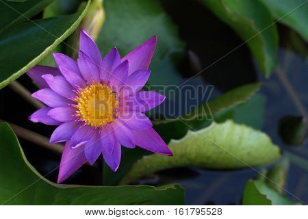 Lotus blossom and green leaves in the water