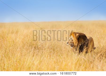 Portrait of beautiful African lion hunting at wide spread of Kenyan prairie