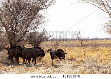wild Wildebeest Gnu standing in desert Etosha Park Namibia true wildlife