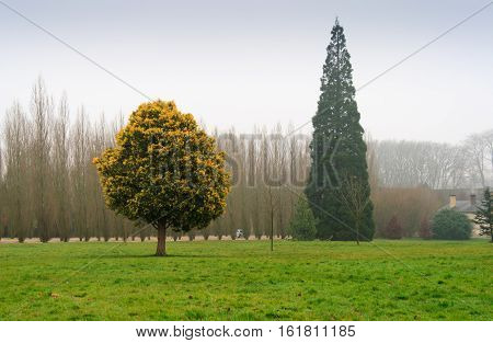 Pine tree and bluming tree at Versailles gardens in winter.