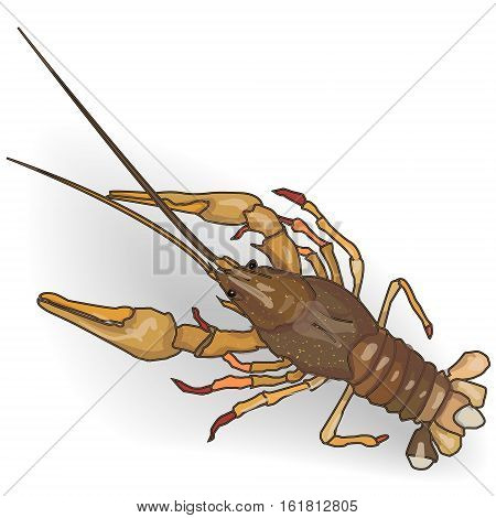 Crayfish Cooked Isolated