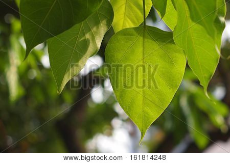 Bodhi or Peepal Leaf from the Bodhi tree with bokeh