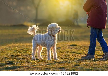 white poodle dog play with boy at sunset