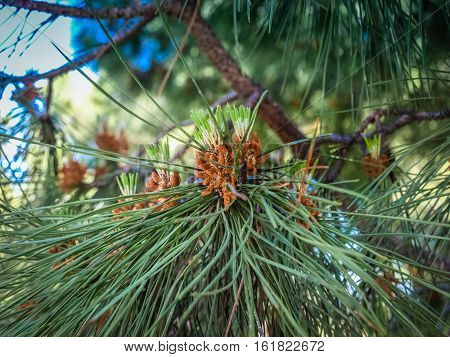 Pine Branches With Cones Swaying In The Wind