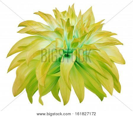 yellow big flower on a white isolated background with clipping path. Side view. Closeup. big shaggy flower. for design. Dahlia..