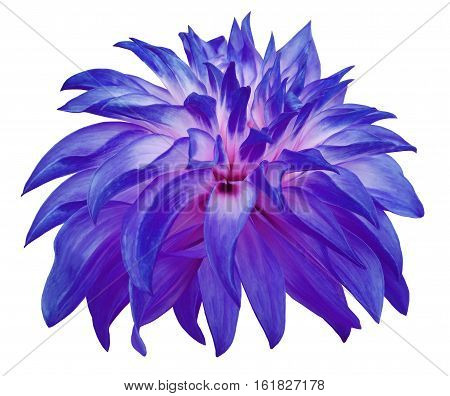 blue big flower on a white isolated background with clipping path. Side view. Closeup. big shaggy flower. for design. Dahlia..