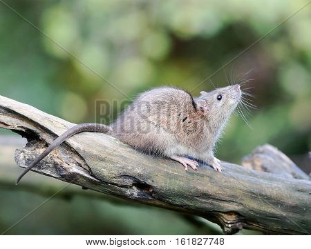 A wildlife shot of a tree rat perching on a branch. Dec 2016