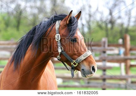 Side view portrait of beautiful bay saddle horse in summer corral