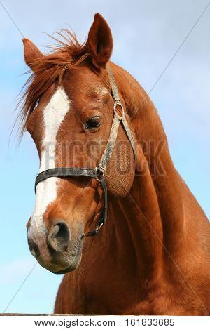 Head shot of an anglo-arabian racehorse against blue sky