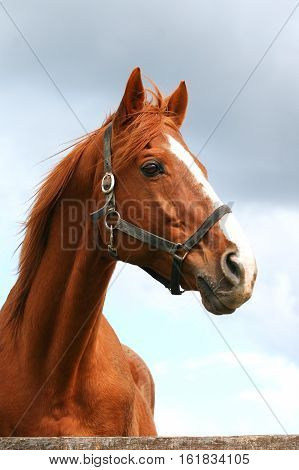 Beautiful anglpo-arabian horse portrait against blue sky