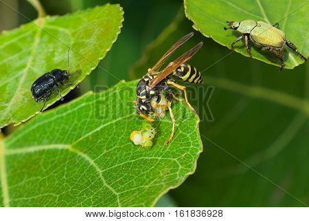 Predator's meal in company of witnesses - big wasp eating caterpillar delicatessen.