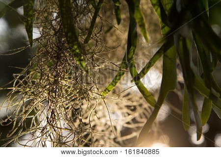 Spanish moss, Beautiful nature background at sunset